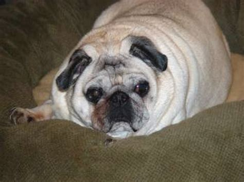 what is the average of a pug pug weight overweight pugs average weight of a pug dipoindexing