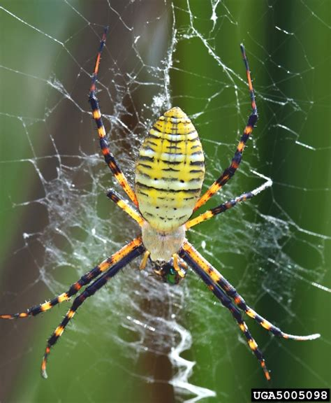 Garden Spider Family Name Big Spider The Cat Site