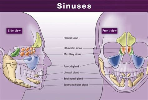 diagram of sinus cavity acupuncture cavities and page on