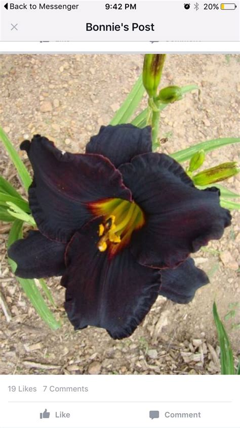 Porters Flowers Garden City Ks 154 Best Images About Daylilies I Want On Auction Strawberry Moons And Kennedy