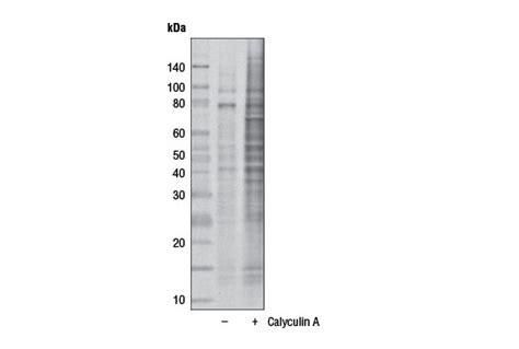s protein hrp conjugate phospho threonine antibody p thr polyclonal hrp