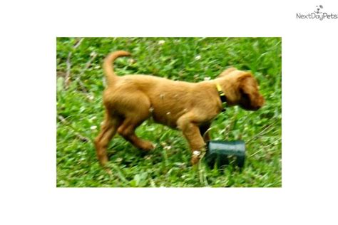 setter puppies for sale near me setter puppy for sale near pittsburgh pennsylvania 72c09a61 d3b1
