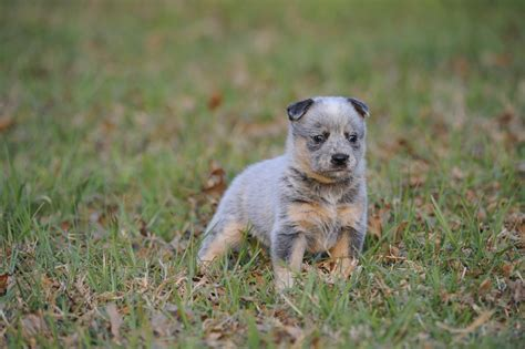 australian cattle puppies australian cattle breed gallery