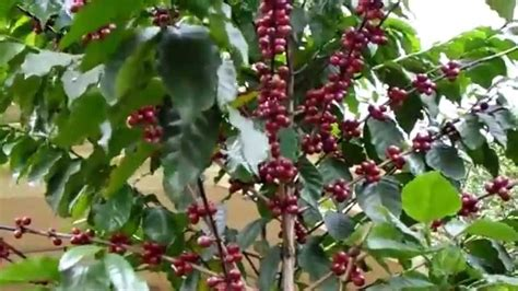 coffee tree with beans how to recognize it