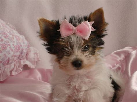 yorkies for sale calgary terriers yorkie for sale adoption from calgary alberta adpost