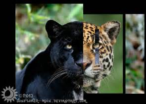 Jaguars And Panthers Genetic Portraits Panther Jaguar By Sunflower Moon On
