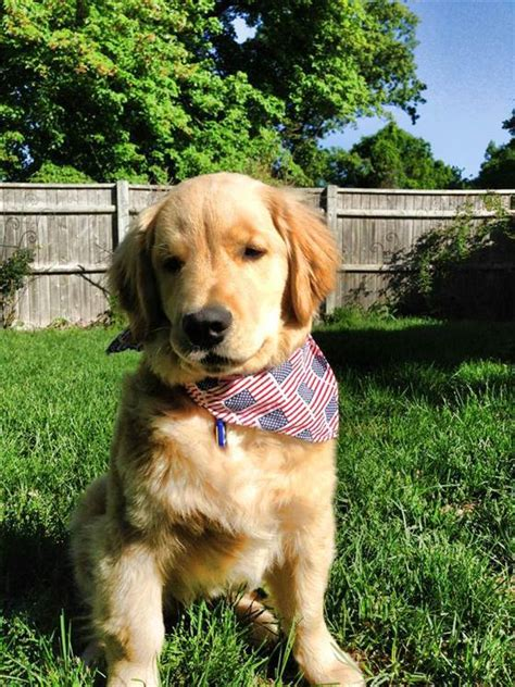 golden retriever skull bump charles the blind golden retriever wins orange room award today