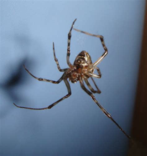 House Spiders by Common House Spider Spiders In Sutton Massachusetts