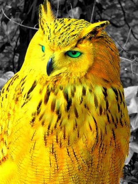 stunning golden owl beautiful birds nocturnal birds pet birds