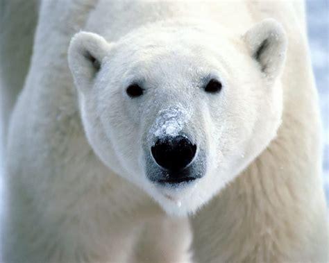 oso polar oso polar animales el oso polar