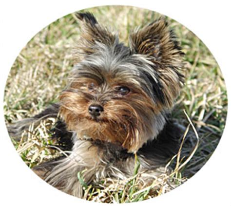 yorkie behavior issues yorkie aggression terrier