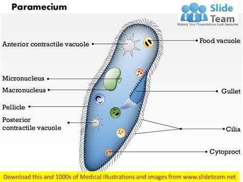 paramecium diagram paramecium diagram with labels images