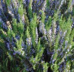 Tropical Patio Plants Tuscan Blue Rosemary Buy Online Best Prices