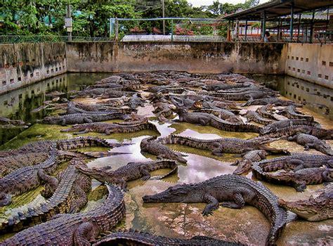 Crocodile Farm in Thailand   Flickr - Photo Sharing!