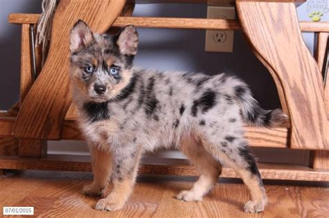 pomsky puppies for sale in ohio 25 best ideas about pomsky for sale on pomsky for sale baby huskies