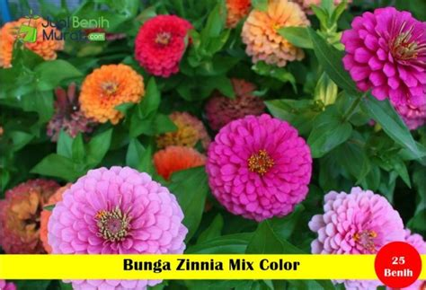 Benih Bibit Bunga Krisan Mix Color Maica Leaf 2 benih bunga zinnia mix color maica leaf jualbenihmurah