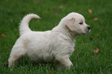 prix golden retriever chiot elevage de beaudribos eleveur de chiens golden retriever