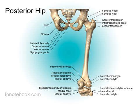 anatomy bones hip anatomy
