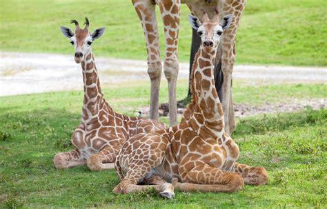 ver imagenes jirafas primeraclase net busch gardens presenta por primera vez a