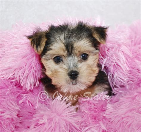 yorkie puppies nj yorkie designer haircuts breeds picture