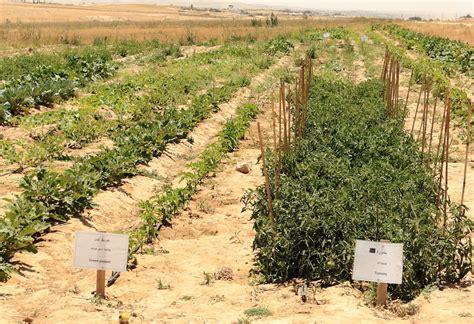 Desert Vegetable Garden Wadi Attir The Sustainability Laboratory