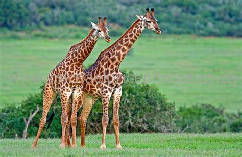 google images giraffe giraffe google search jungle animals pinterest