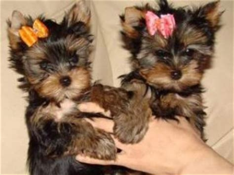 teacup yorkies for adoption in louisiana pets new iberia la free classified ads