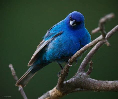 feather tailed stories indigo bunting