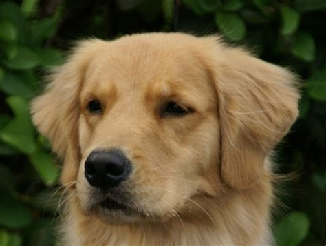 golden retriever puppies jacksonville florida best golden retriever breeders florida photo