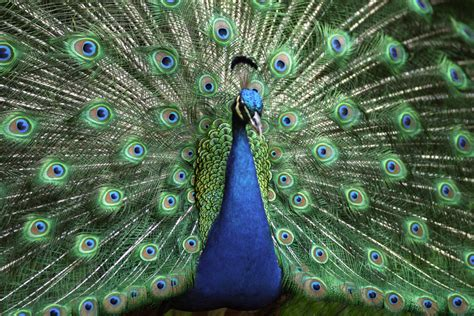 peacock wallpapers peacock hd wallpapers high definition free background