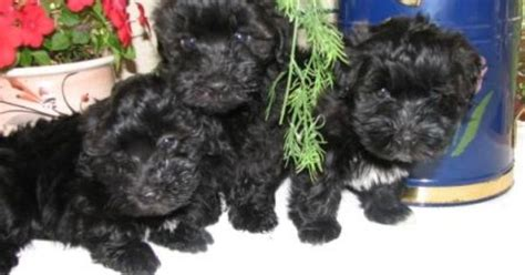 havanese puppies rochester ny havanese hacienda where it all began for me they lived up by rochester ny when i was