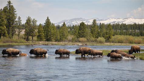 the buffalo brigade protecting yellowstone s noble beasts