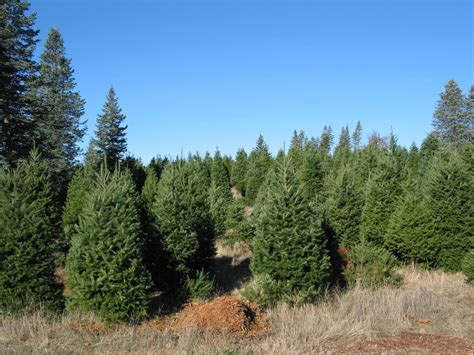 santa cruz county california christmas tree farms choose