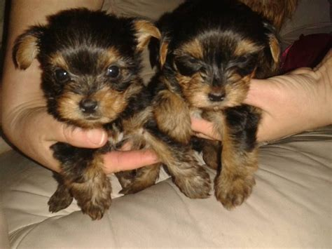 puppies for sale yorkie terrier puppies for sale dorchester dorset pets4homes