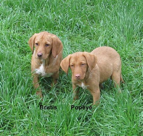 mini lab puppies miniature lab puppies www imgkid the image kid has it