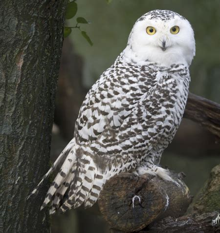 amazoncom snowy owl habitat of snowy owls exploring the cold places they live in