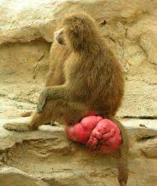 female baboon in heat wtf