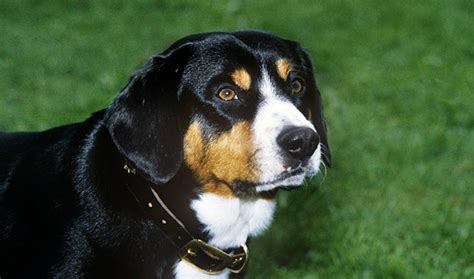 Entlebucher Mountain Shedding by Entlebucher Mountain Breed Information