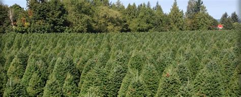 best christmas tree farms oregon guerrero tree farms