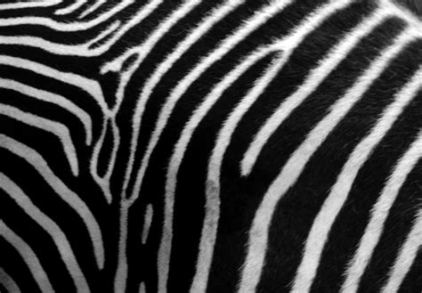 Zebra Print - Animals Photos