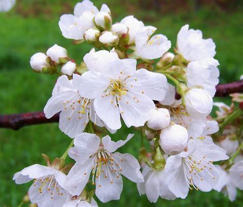 imagenes flores blancas fotos de flores blancas ŧl гєร pinterest