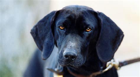 plott puppies plott breed information american kennel club