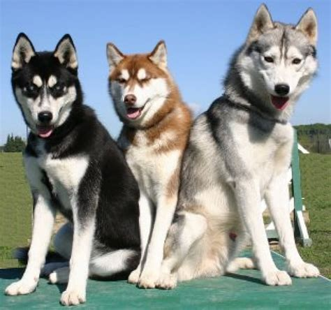 husky breed 50 beautiful siberian husky photos and pictures