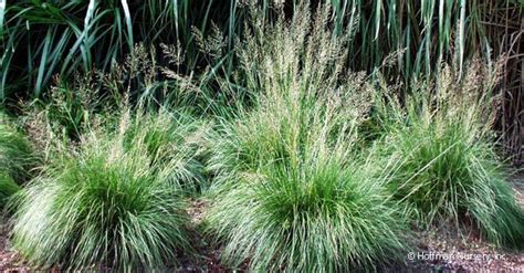 Cardigan Stipa 530 best grass images on ornamental grasses garden plants and patio plants