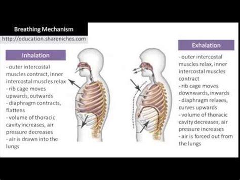 inhalation diagram diagram breathing mechanism inhalation exhalation