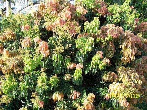 Backyard Fly Control Lychee Wai Chee Tree Litchi Chinensis