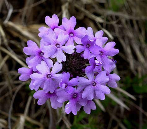 vervain fiori di bach vervain floridinamica