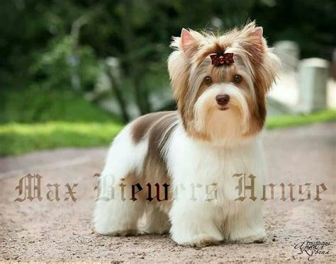 biewer yorkie haircut 17 best images about puppy cut on pinterest yorkie pets