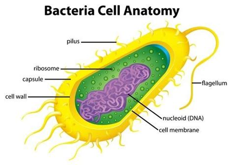 bacterial cell diagram labeled best 25 bacterial cell structure ideas on