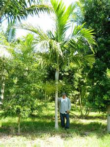 Tropical Plant Names And Pictures - ptychosperma elegans